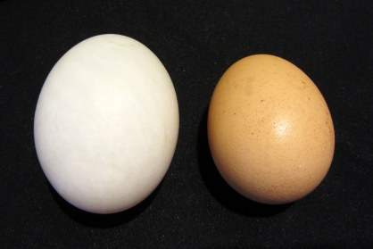 Duck Egg (left) v. Chicken Egg (right)